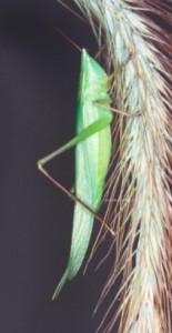 katydid_small